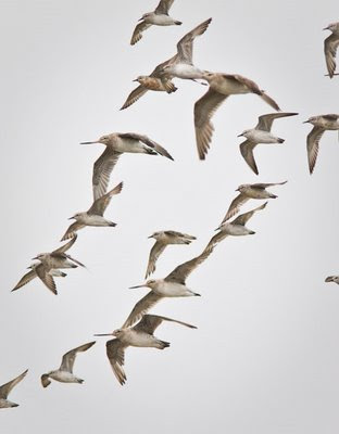 Godwits & red knots flying
