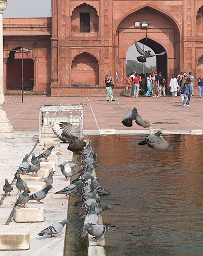 Pigeons at the Jama Masjid in New Delhi, November 2007