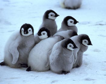 Cute baby emperor penguin - photo#14