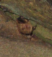 A hibernating bat in Linville Caverns