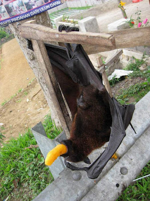 عکس: بزرگترین خفاش میوه خوار!