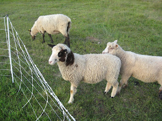 Fossil Creek Fibers: Finnsheep for Sale - Ram lambs and Rams