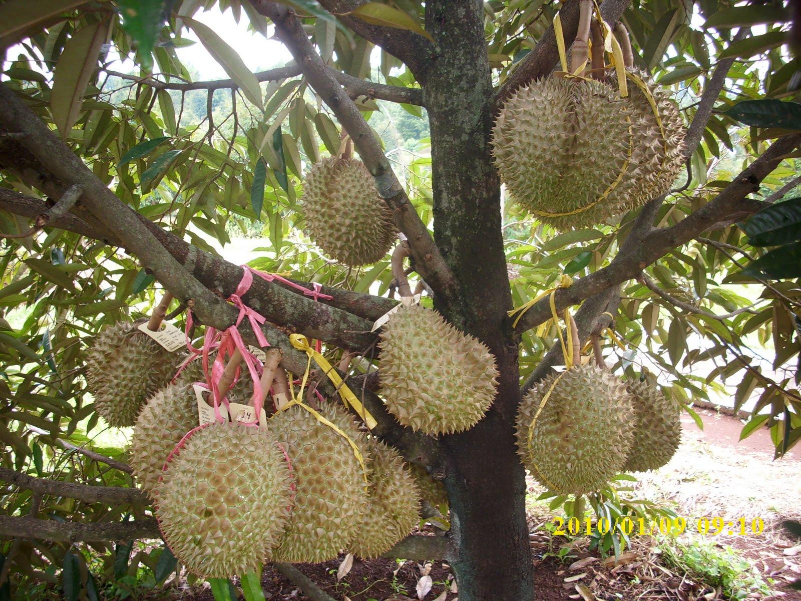 super advanced fertilizer durian fruit. Black Bedroom Furniture Sets. Home Design Ideas
