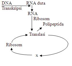 Latihan soal materi genetik biosman8pku diagram langkah sintesis protein ccuart Images