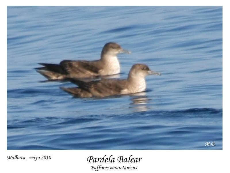 las aves en la mar avistadas por sva pardela balear