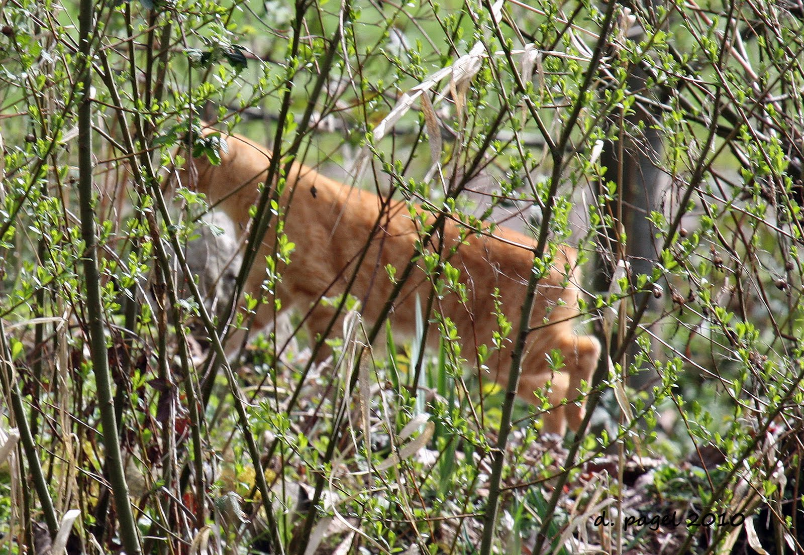 deltabluez stockdogs cougars attack