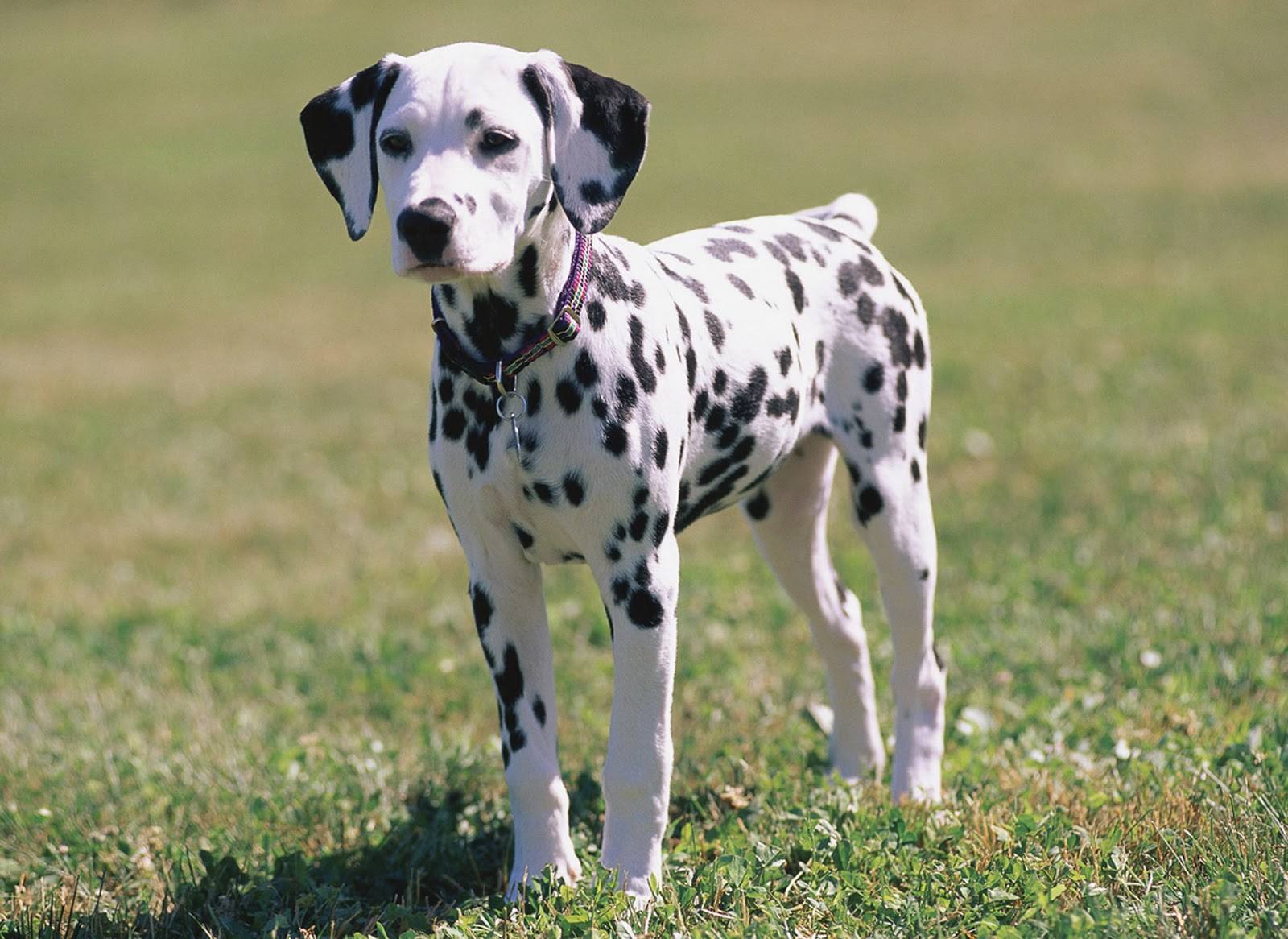 Picture of female dalmatian dog, dalmatian breed dog