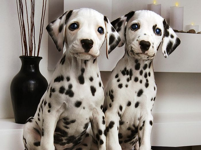Dalmatian breed dogs posing for picture