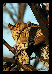 Leopards in Botswana Africa