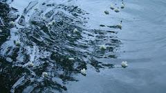 clavells al llac de Banyoles