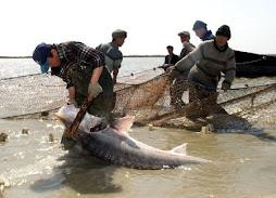 La pesca de l'esturió