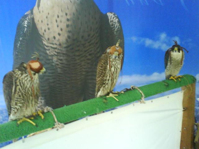 Halcones en el taller de cetrería
