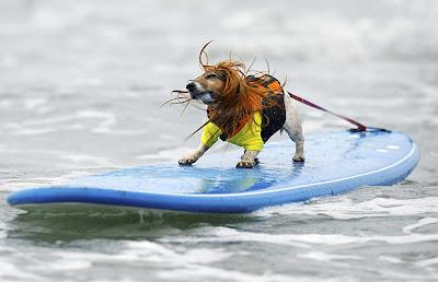 Perro surfista