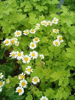 Chrysanthemun parthenium