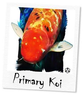 primary koi