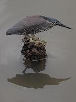 Kingfisher - Kampong Ayer, Bandar Seri Begawan