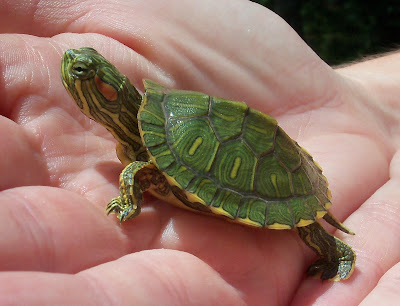 Angie Kay Dilmore: Baby Turtle Finds a Home