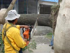 El guayacan cortado