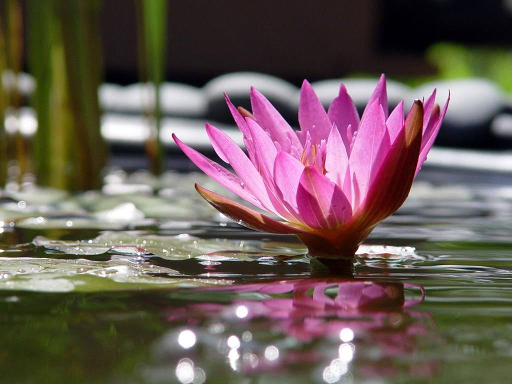 http://1.bp.blogspot.com/_bA-VoM7DcQE/S9oB8U2rlUI/AAAAAAAAAJs/Q_pjIre2nNY/s1600/loto+rosa.jpg