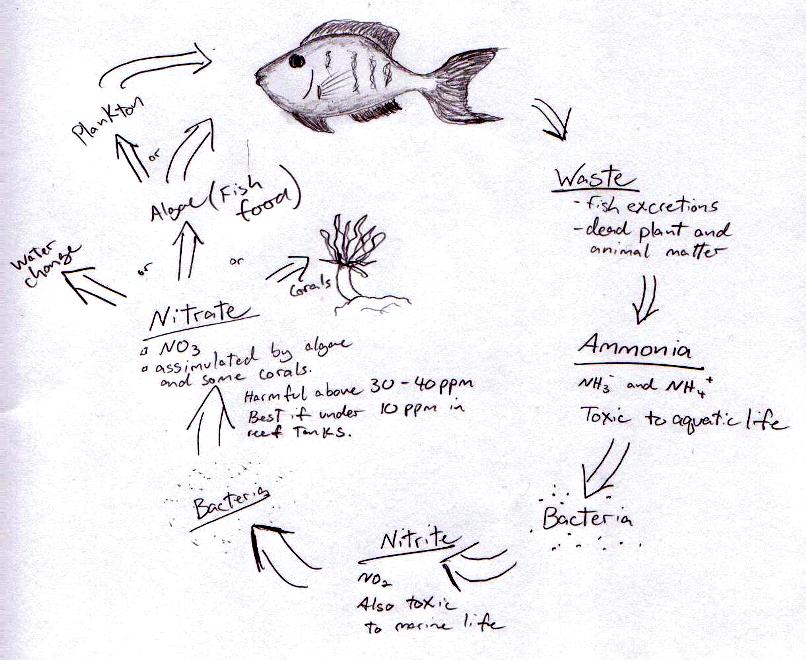 Clownfish life cycle for Clown fish life cycle