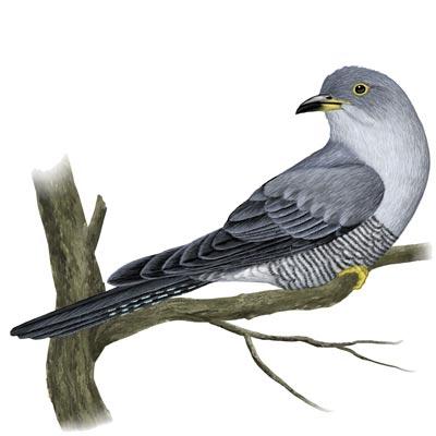 misswhistle: Cuckoo