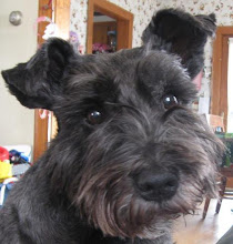 Scruffy the Schnoodle