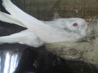 Albino Swiftlet : My Princess