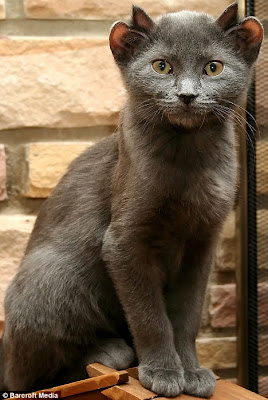 yoda, the grey cat