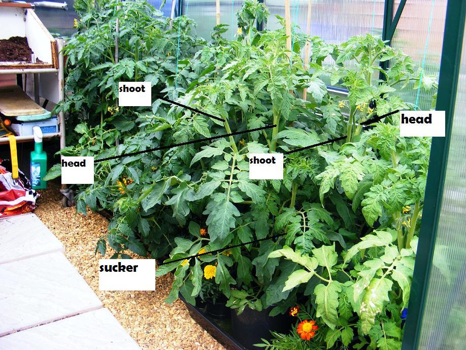 Mr Tomato King How To Prune Cordon Tomatoes