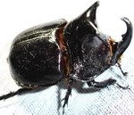 Trichogomphos lunicollis/Male/60-65 mm