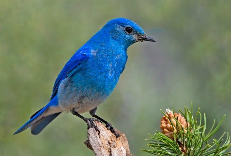 Ask The Idaho Bird Blogger Mountain Bluebird