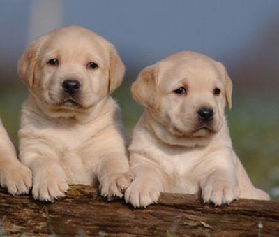 Labrador Retriever: Labrador pups photos