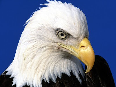 eagle wallpapers. Eagle Wallpapers | HD