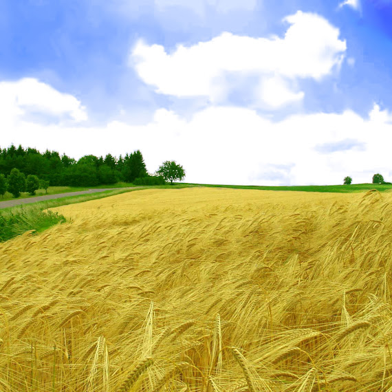 tanaman gandum
