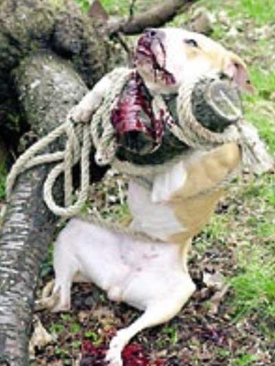 Бойцовские собаки питбуль фото видео