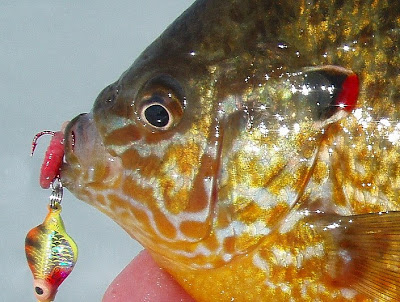 colorful+panfish.jpg
