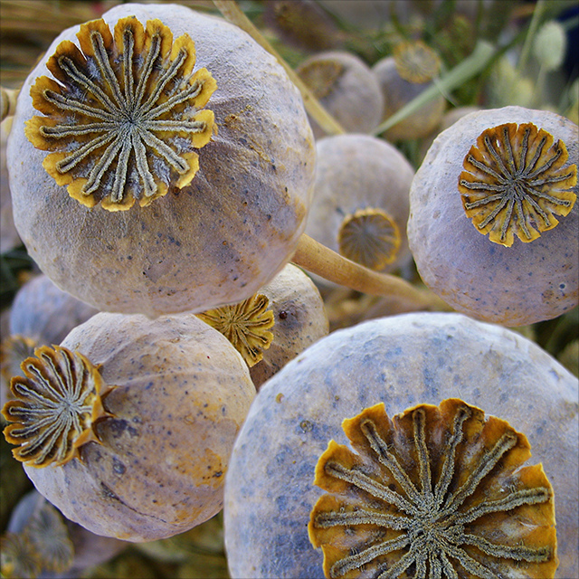 Poppy seed pods