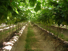 Plantación de Uva de Mesa (Seedlees Festival)
