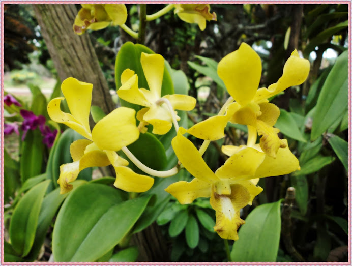 yellow dendrobium