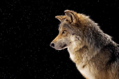 http://1.bp.blogspot.com/_b_Z_ehXWGFE/TRJXuJBIQ5I/AAAAAAAACfs/qURnsjMLORE/s500/mexican-gray-wolf_sized.jpg