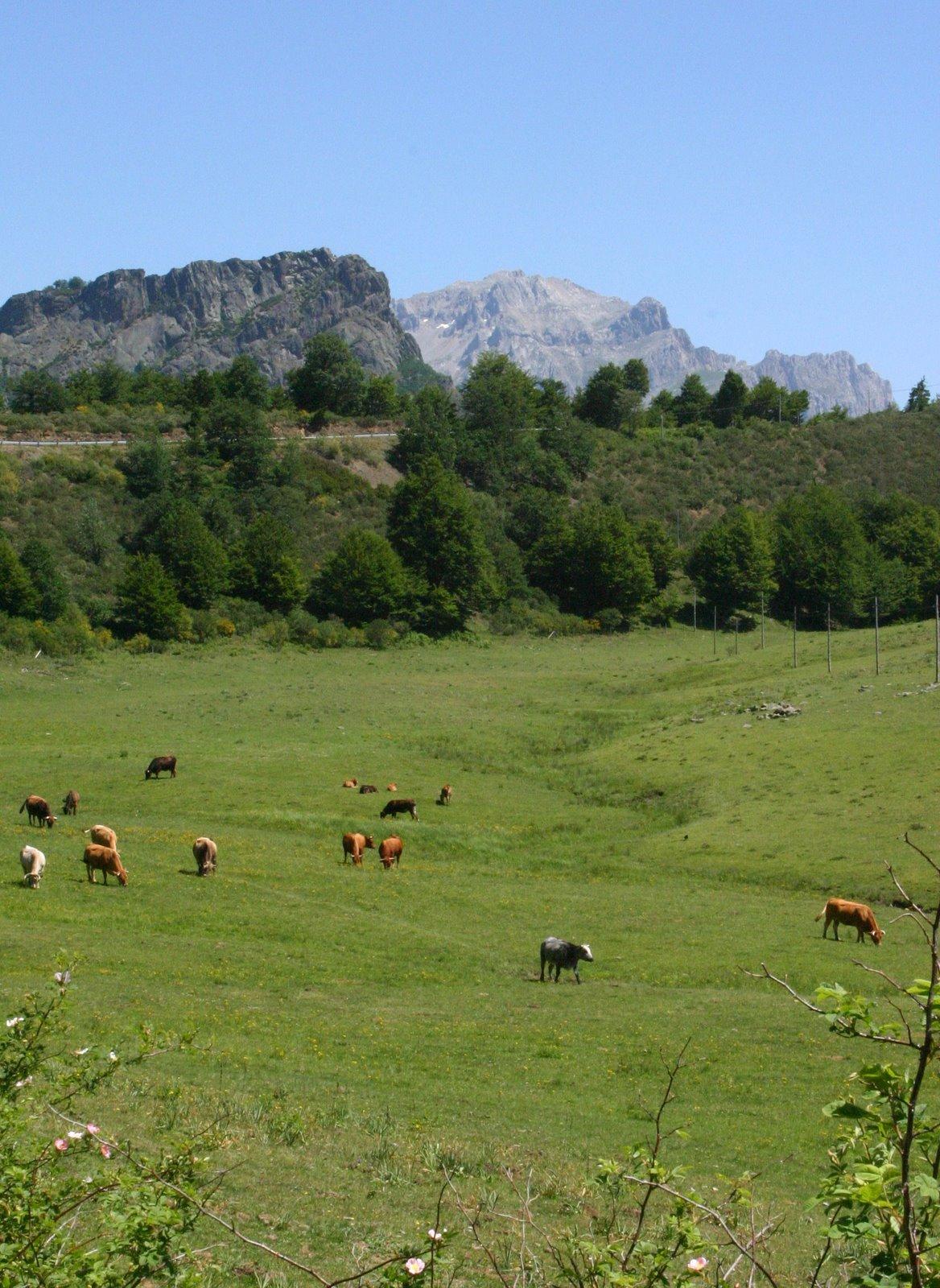 [IMG_1368+Valdeon+Cows.jpg]