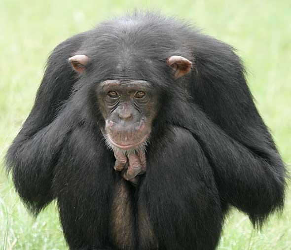 لحظات نادرة Chimpanzee.jpg