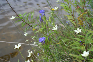 Fringed Gentian and Grass of Parnassus