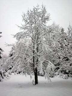 poza copac iarna