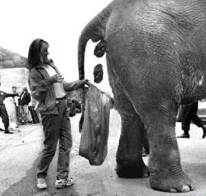 elephant pooping and someone bagging it