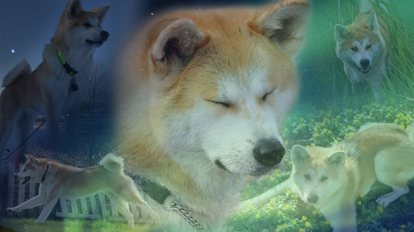 akita patrimonio natural nacional do japao o akita ou akita inu e uma