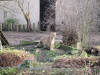 Lion at the London Zoo