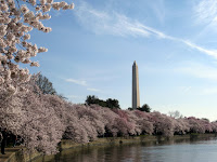 Trees and the Washington Monument at the Cherry Blossom Festival in Washington DC