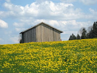 Barn in front of a field of yellow flowers in Bavaria Germany