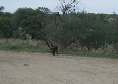 Baboon on the road to Etosha National Park in Namibia